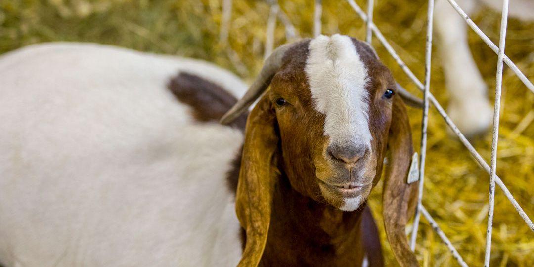 goat.4
